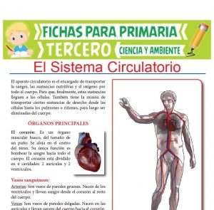 Ficha de Órganos Principales del Sistema Circulatorio para Tercer Grado de Primaria