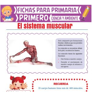 Ficha de El Sistema Muscular para Primero de Primaria