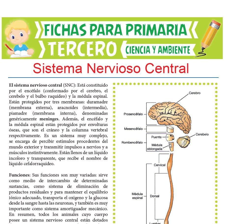 Ficha de Funciones del Sistema Nervioso Central para Tercer Grado de Primaria