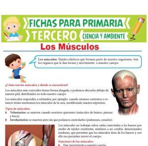 Ficha de Los Músculos para Tercer Grado de Primaria