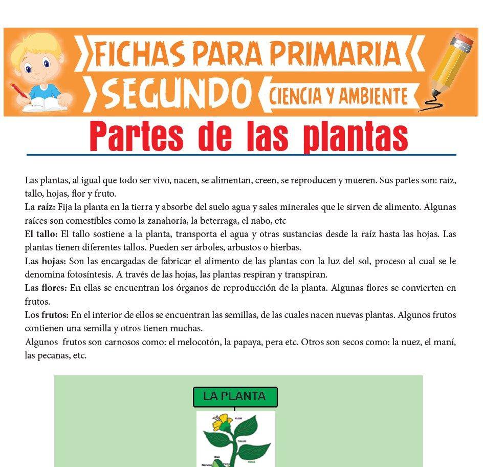 Ficha de Partes de las Plantas para Segundo de Primaria