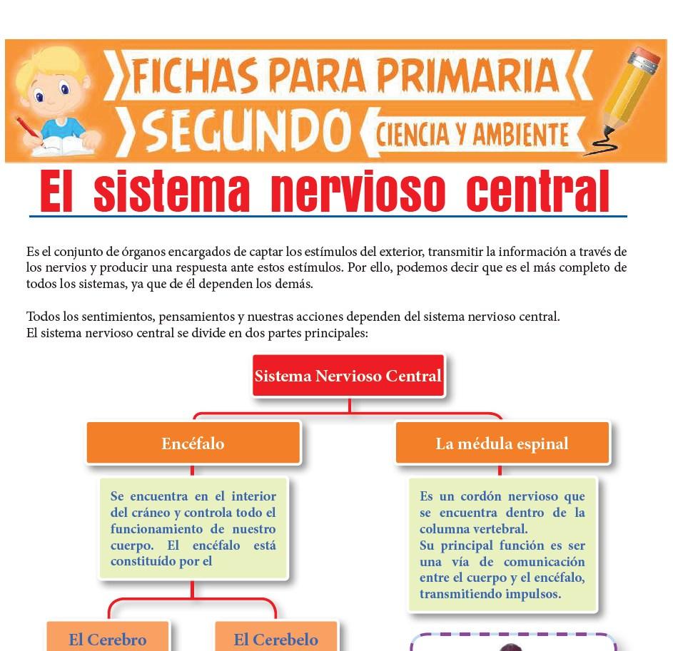 Ficha de Sistema Nervioso Central para Segundo de Primaria