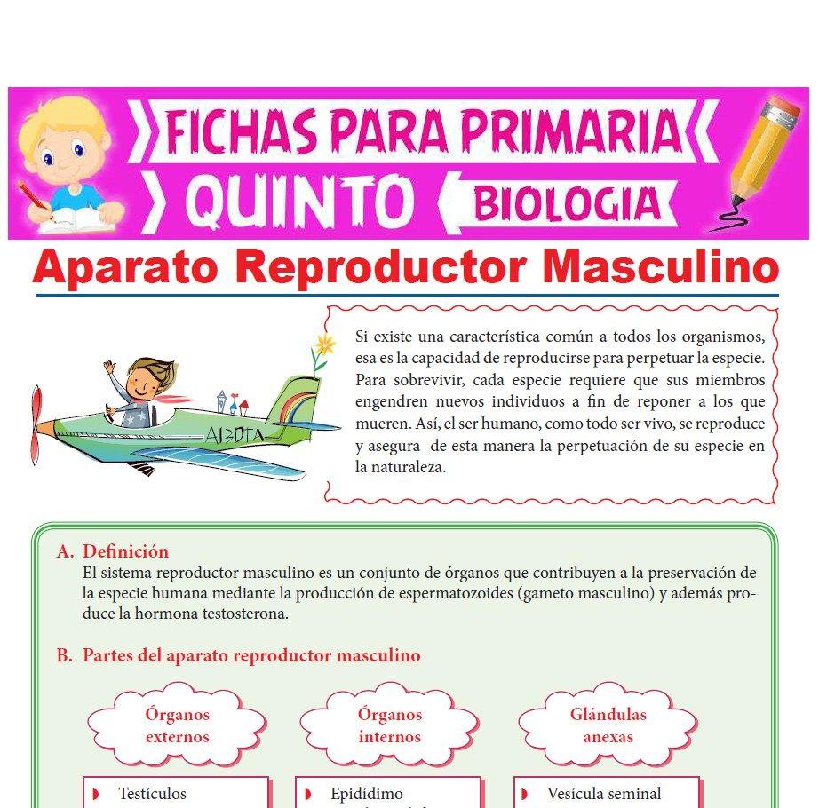 Ficha de Aparato Reproductor Masculino para Quinto Grado de Primaria