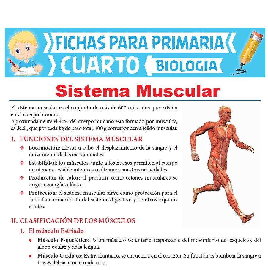 Ficha de Sistema Muscular para Cuarto Grado de Primaria