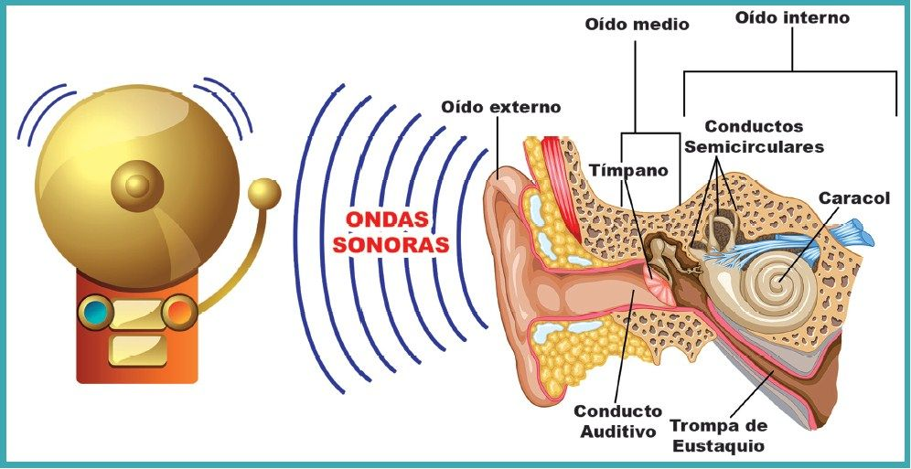 ficha de partes del oído para primaria